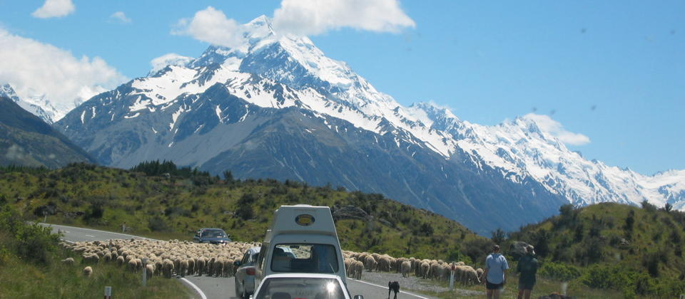A flock of Merino sheep on their way towards Aoraki Mt Cook along with tourists.
