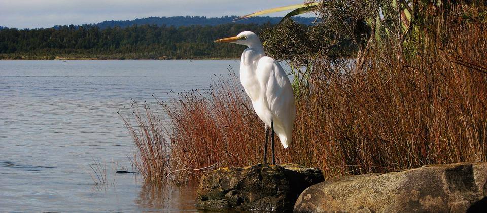 White Heron on Okarito Lagoon