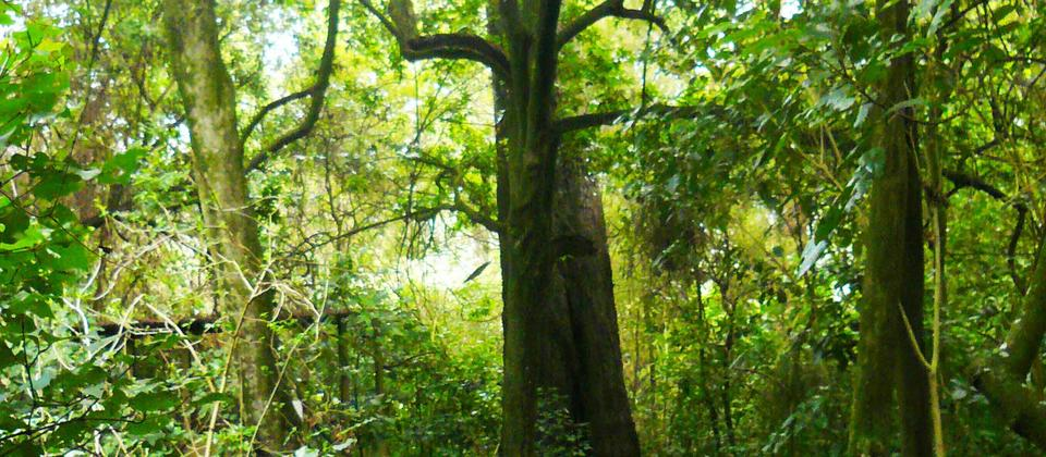 One of the many ancient trees in Manaia Native Habitat.
