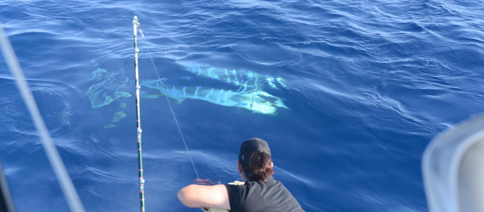 Striped Marlin tagged February 2019 Bay of Islands