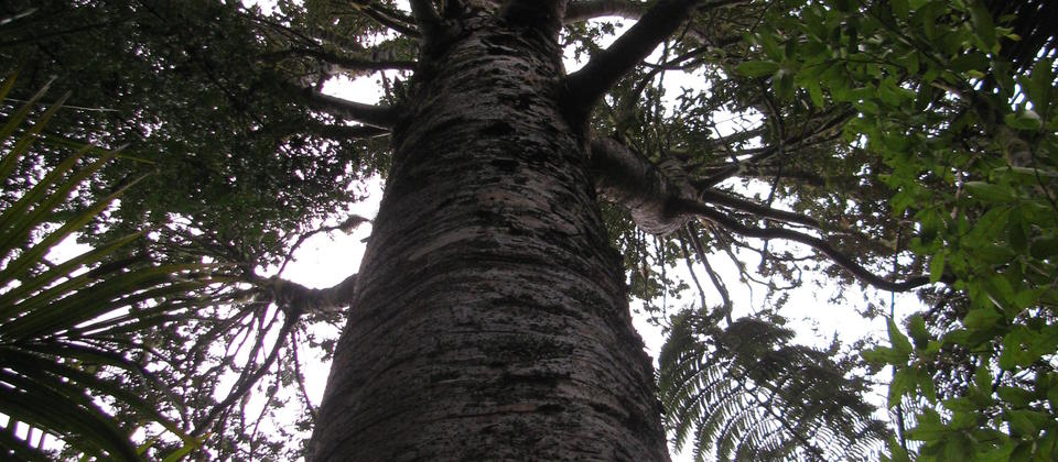 The Mighty Kauri