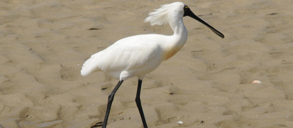 Royal spoonbills migrate to NZ every summer.