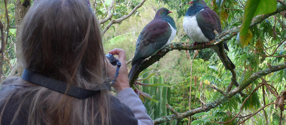 Native Woodpigeon at Wharepuke