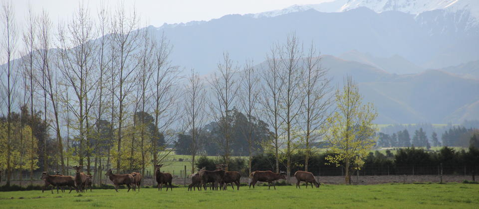 Stags with four peaks in the background..JPG