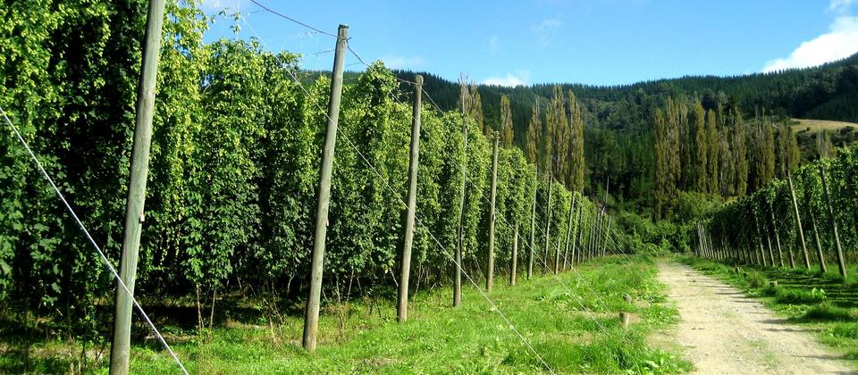 Did you know, hops are a weed? They add a lot of the flavour to beer. NZ hops are some of the most sought-after in the world.