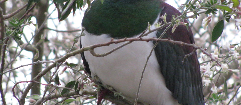 The beautiful Kereru