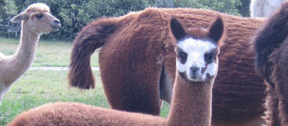 Stansborough Alpacas