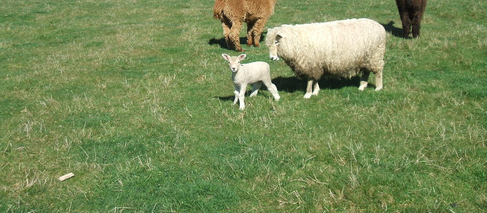 Ewe with lamb and alpacas