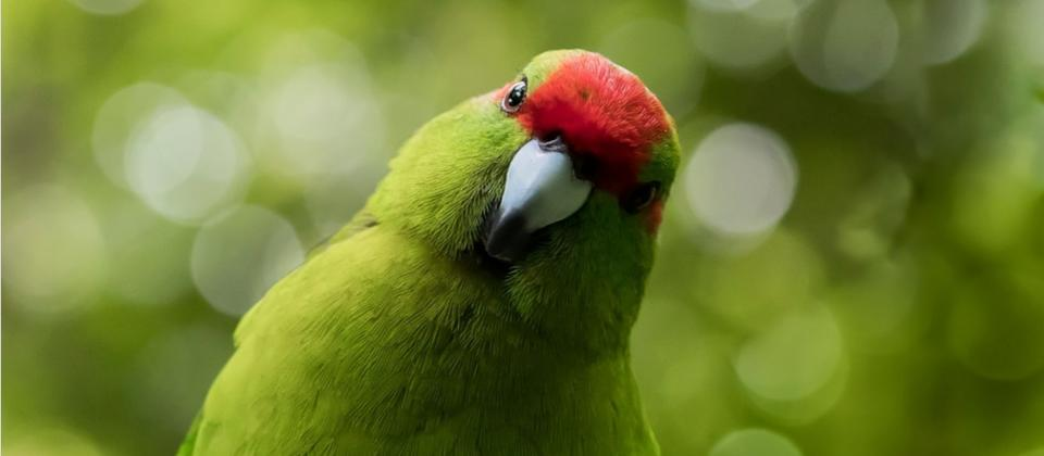 Visit ZEALANDIA Ecosanctuary located only 10 minutes drive from the Wellington CBD. Look out for these friendly birds, the kākāriki, the brightest bird in the bush, these colourful members of the parrot family are now rare on mainland New Zealand. They're