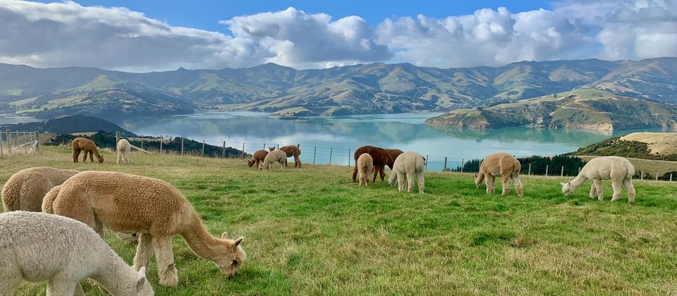 Peaceful and majestic alpacas
