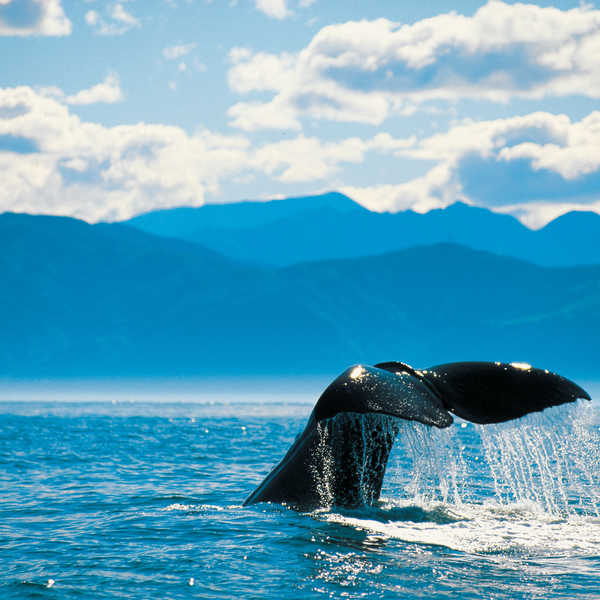 There has always been a deep connection between New Zealand's tangata whenua (people of the land) and the whales that grace our waters.