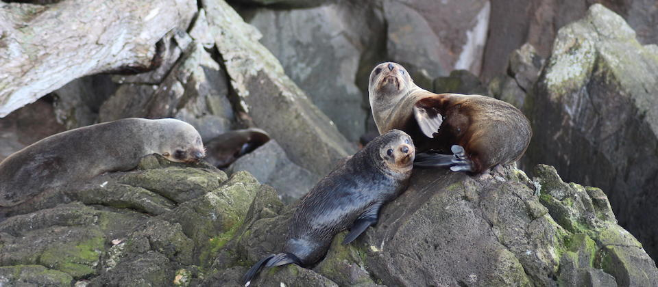 Fur seals at Moutohora