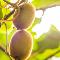 Kiwifruit grows on a vine in the sunny Bay of Plenty