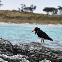 Chatham Islands Oyster Catcher