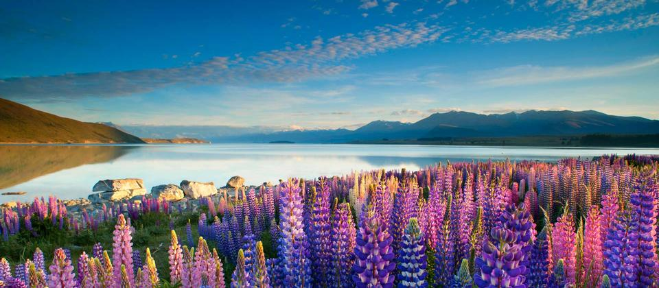 Every year from mid-November to December, the beauty of Lake Tekapo is enhanced by a colourful display of Lupins.