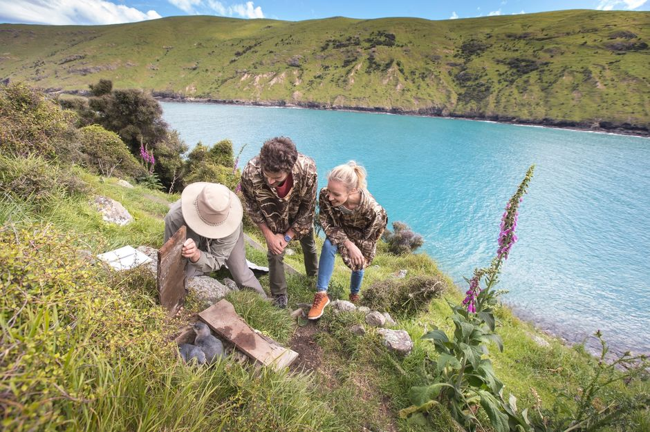 Discover rare wildlife in and around the Akaroa Harbour, located on the Banks Peninsula.