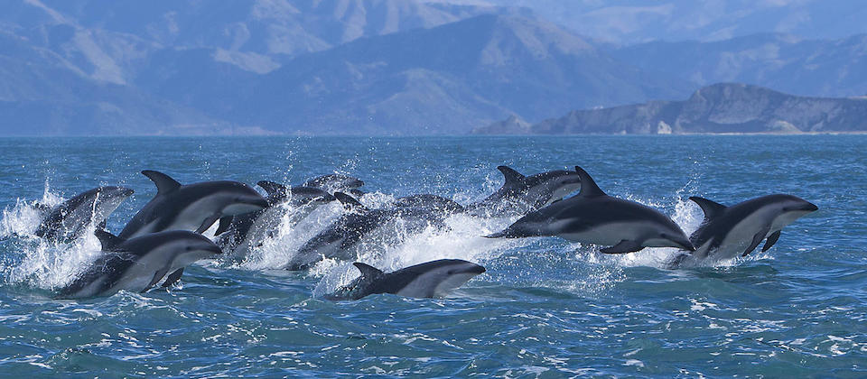 Dolphins seen on Encounter Kaikoura