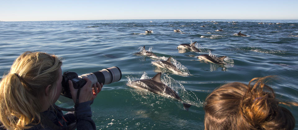 Dolphin Encounter specialises in providing an exhilarating experience of swimming or watching wild dusky dolphins in their natural environment off the