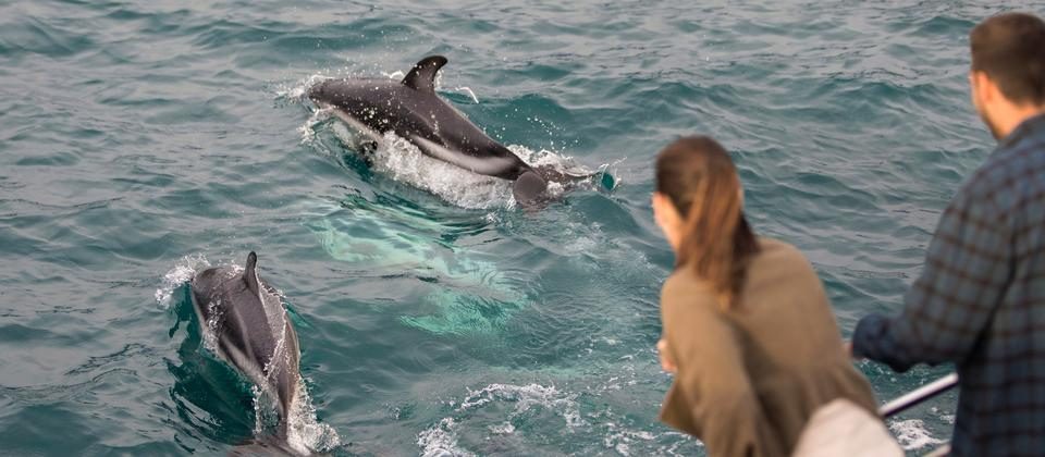 When you visit Kaikoura, don't miss the chance to spend some time with the resident dusky dolphins.