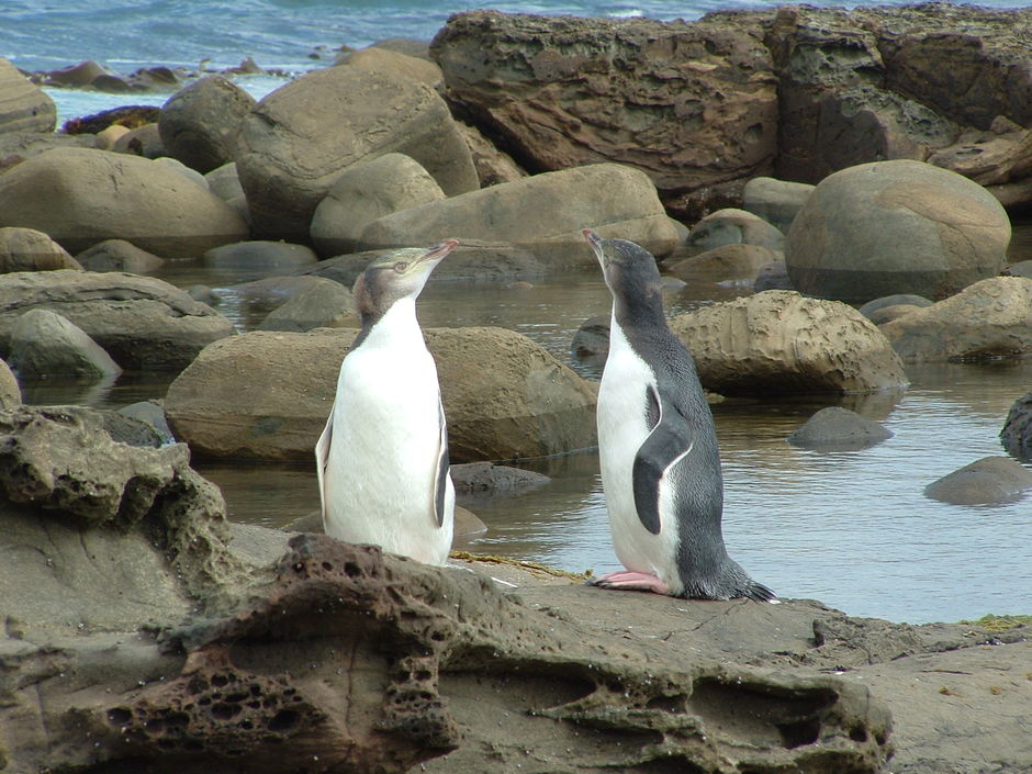 Yellow eyed penguins (hoiho) are one of the rarest penguins in the world
