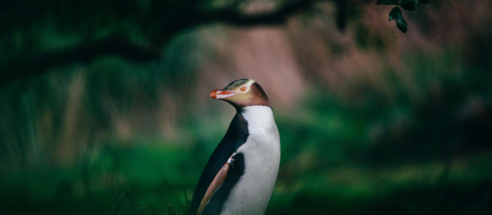 The Otago Peninsula is home to New Zealand's native Yellow-Eyed Penguin