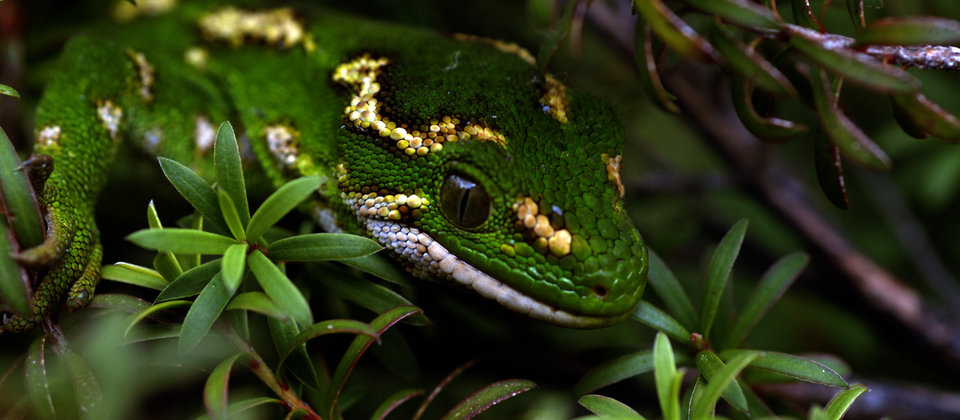 Jewelled gecko