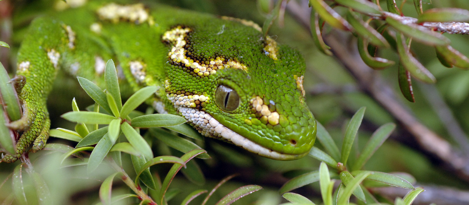 Jewelled gecko at the Orokonui Ecosanctuary