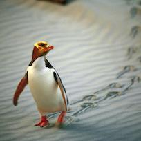 Yellow-eyed Penguin, Dunedin