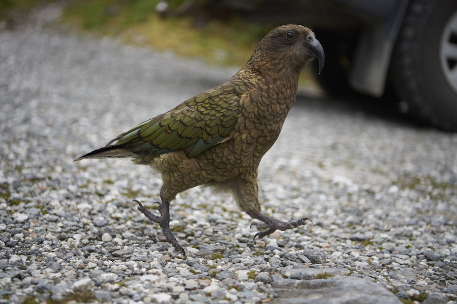 Kea in Doubtful Sound