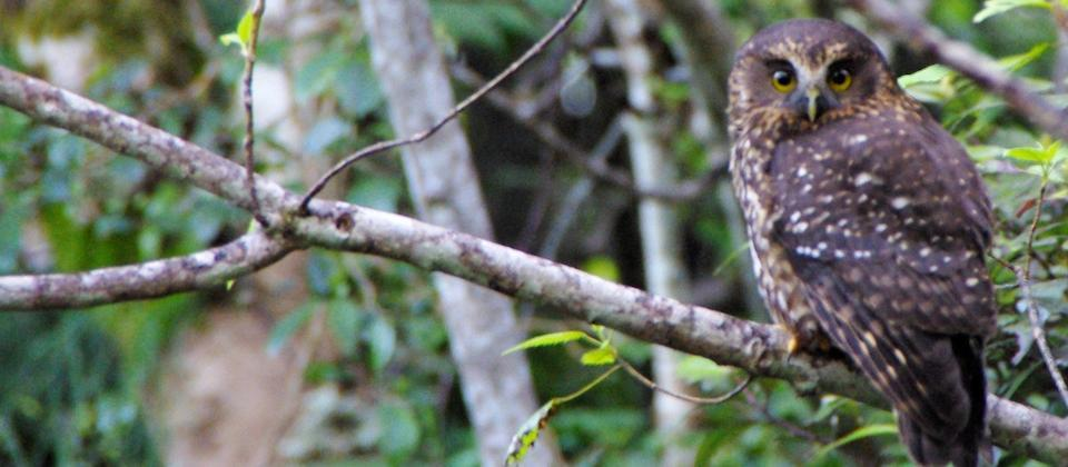 Morepork in Boundary Stream
