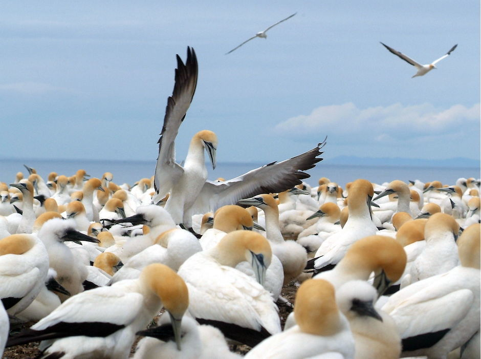 Gannet Colony, Cape Kidnappers