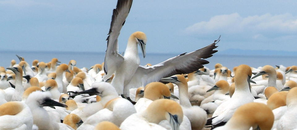 Cape Kidnappers Gannet Reserve is home to two gannet colonies.
