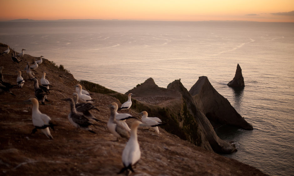 The world's largest mainland gannet colony at Cape Kidnappers, Hawke's Bay