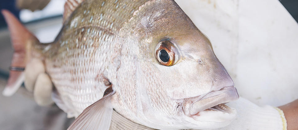 Freshly caught snapper, a highly prized eating fish in New Zealand.