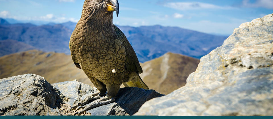 Kea bird on Ben Lomond peak