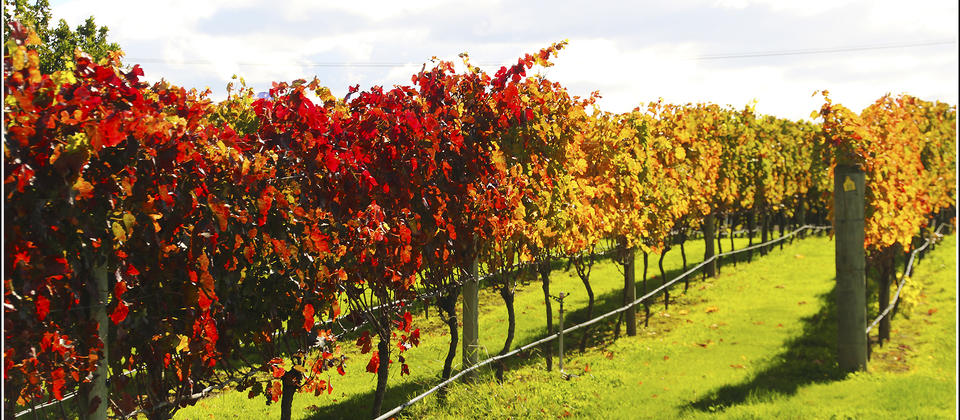 Vineyards with Hawkes Bay Scenic Tours.jpg