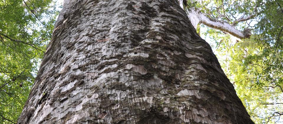 Te Tangi o Te Tui - the 4th largest Kauri in NZ, found in Puketi Forest.