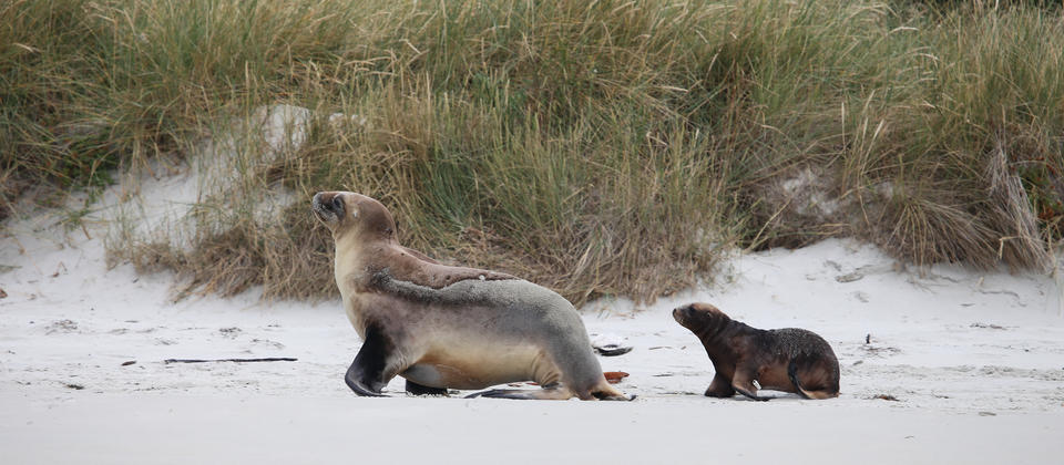 NZ Sealion and pup.jpg