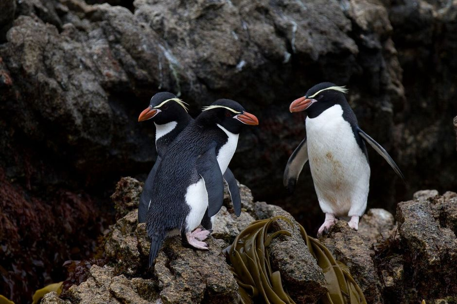 Penguins in the Subantarctic Islands