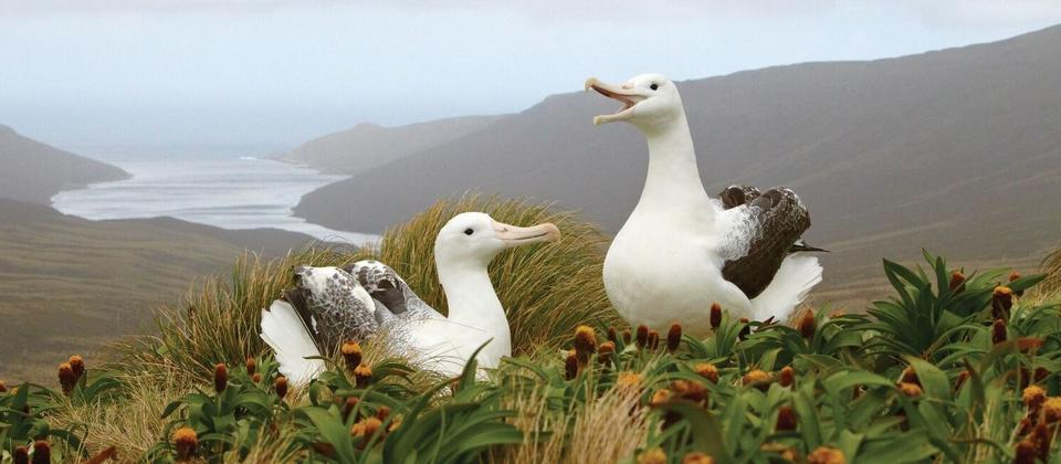 Albatross on the Subantarctic Islands