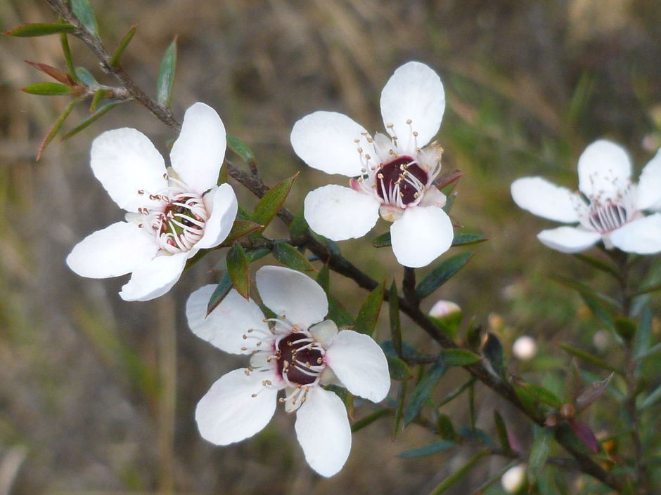 Manuka flowers, which produce New Zealand's famous manuka honey, renowned for its medicinal benefits.