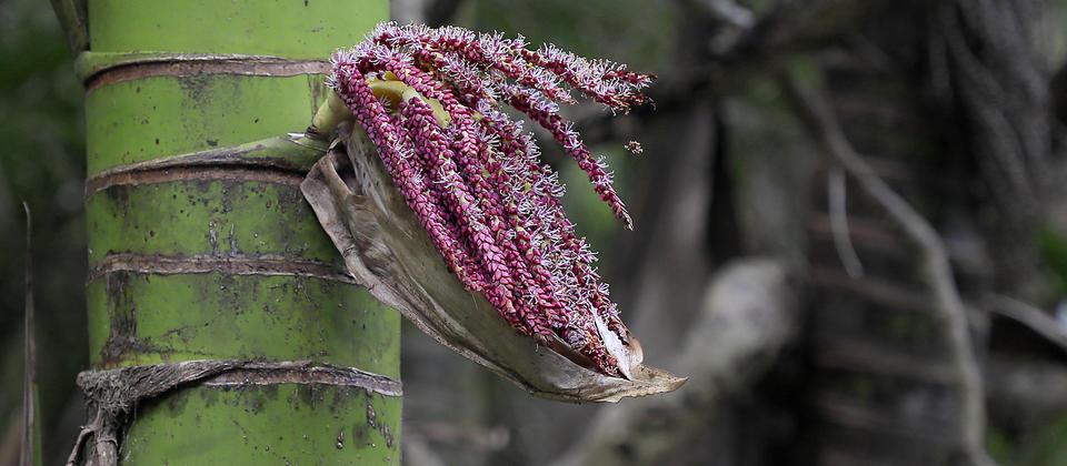 Nikau palm flower, New Zealand native plant.