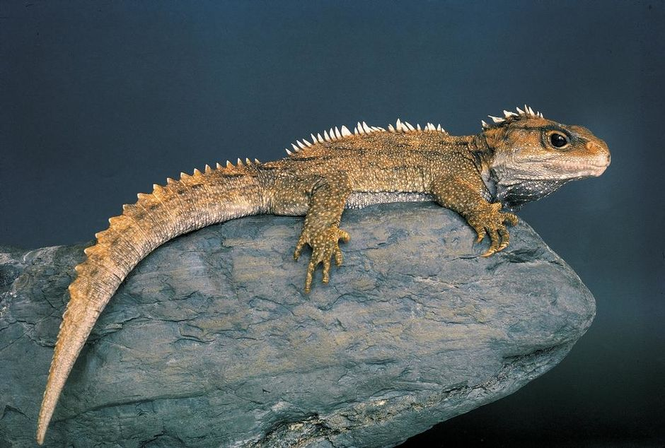 Tuatara can live for over 100 years, and are only found on protected offshore islands.