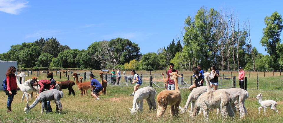 Alpaca farm tour