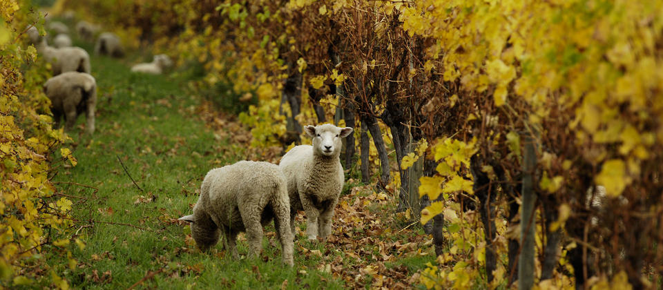 Sheep in the vineyard in Winter time