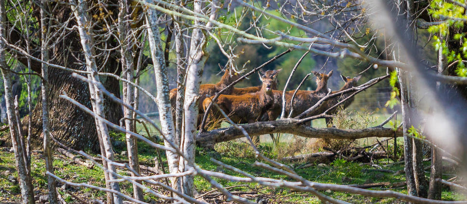 Wild Deer in their Natural Habitat during one of our High Country Tours