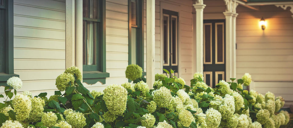 Annabelle hydrangeas in full bloom