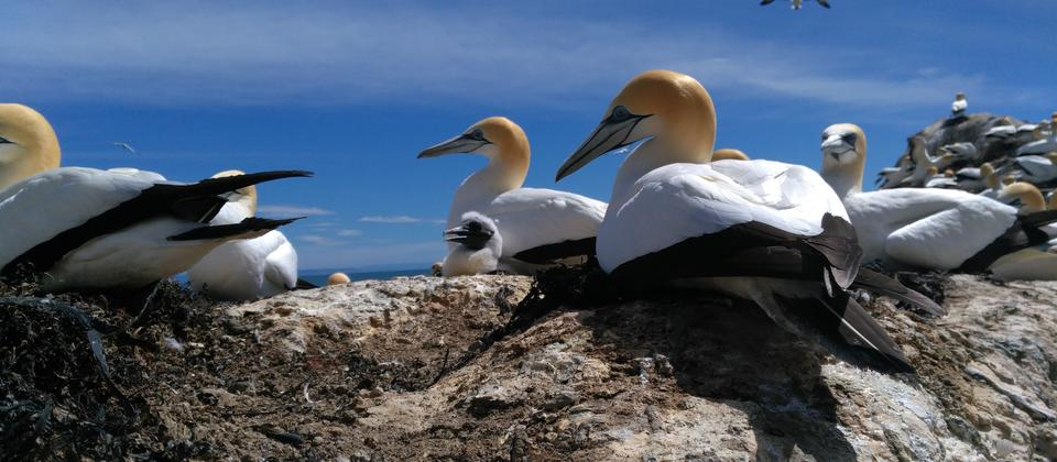 Gannet & chick at Black Reef