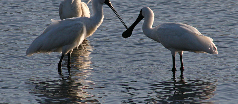 Royal Spoonbills.JPG
