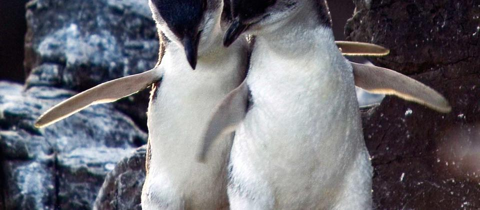 Two-Penguins-bonding.jpg